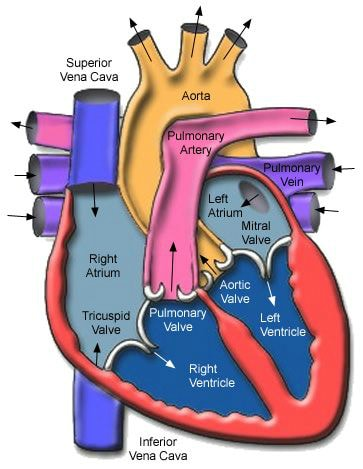 Heart health diagram showing the parts of the heart.