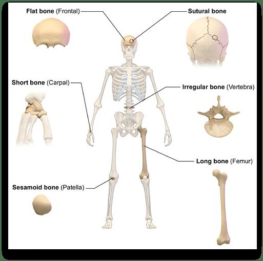 instrideonline.com health bones types of bones