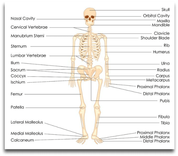 instrideonline.com health bones skeleton diagram