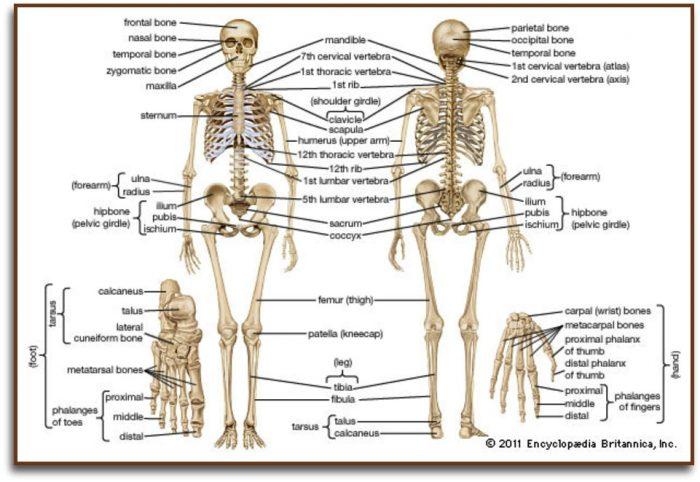 instrideonline.com health bones skeleton diagram labeled