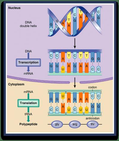 decoding-genes-min-400x472-min