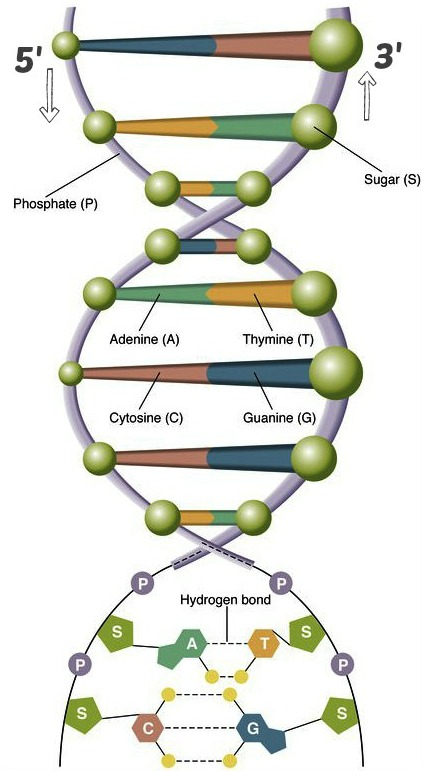 instrideonline.com dna strand diagram