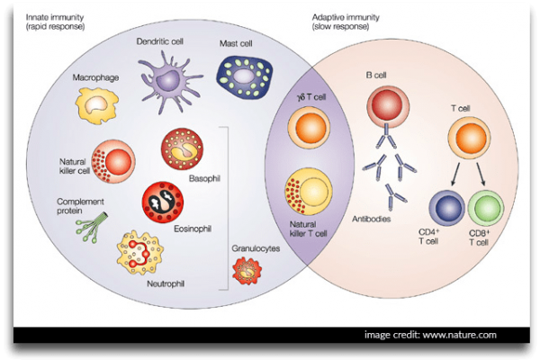 Immune system image of innate and adaptive immunity.
