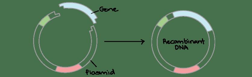 recombinant dna molecule