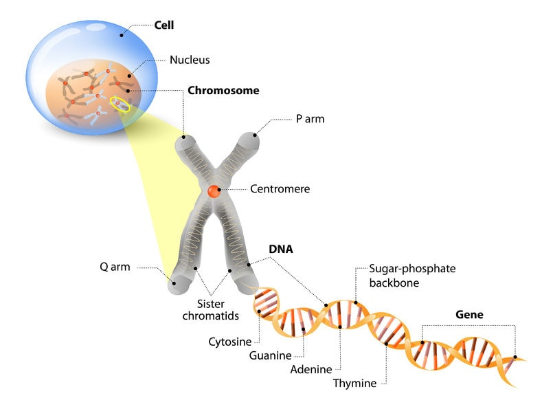 DNA located in the nucleus of a cell