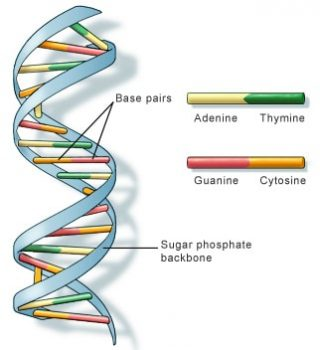 DNA diagram