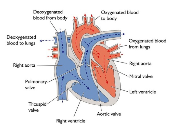 123rf heart diagram