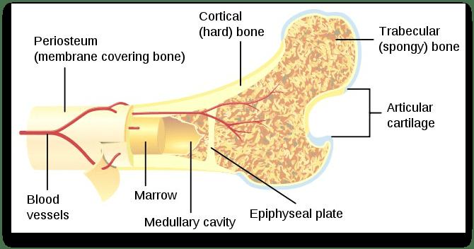 instrideonline.com health bone diagram