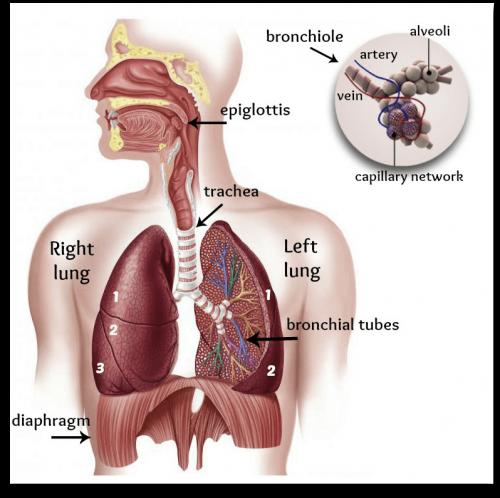 instrideonline.com health cardio respiratory system