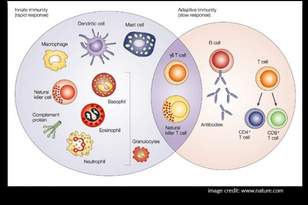 Immune system image of innate and adaptive immunity.