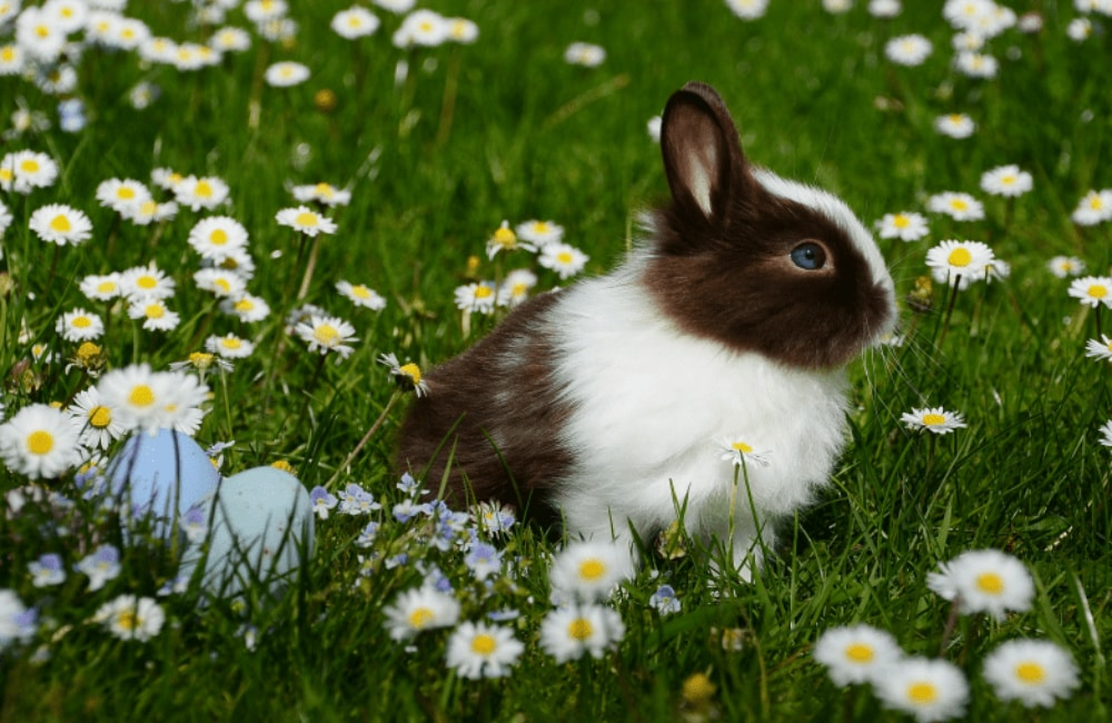 bunny in a field of daisies