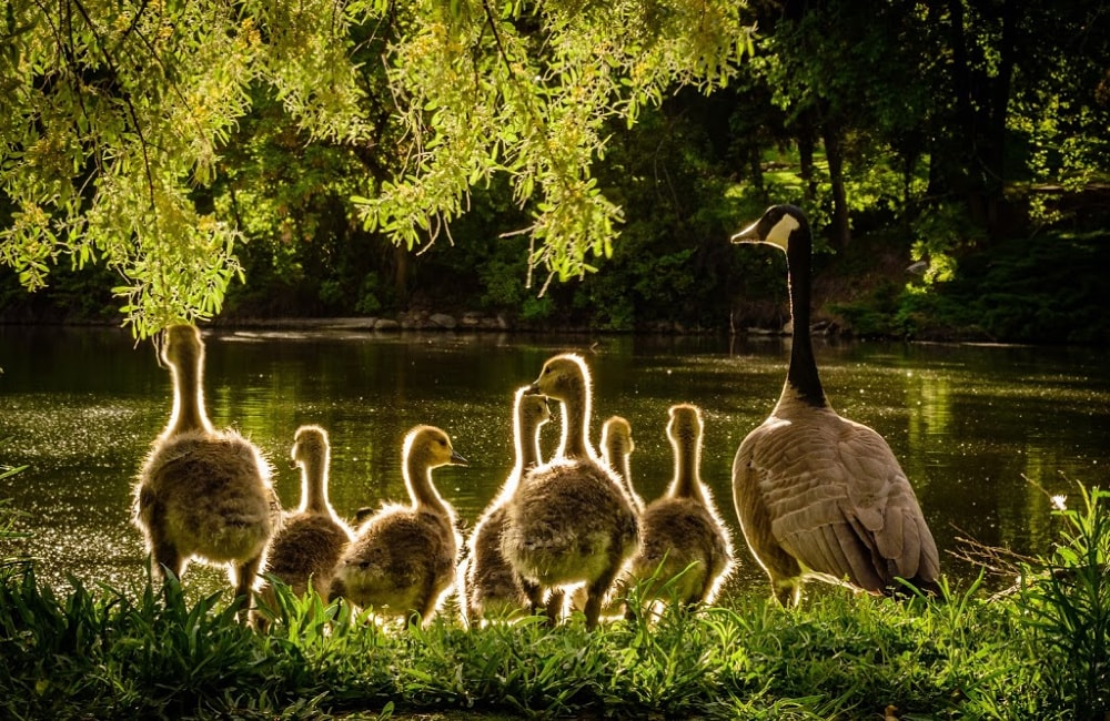 nature pic of a canadian goose family